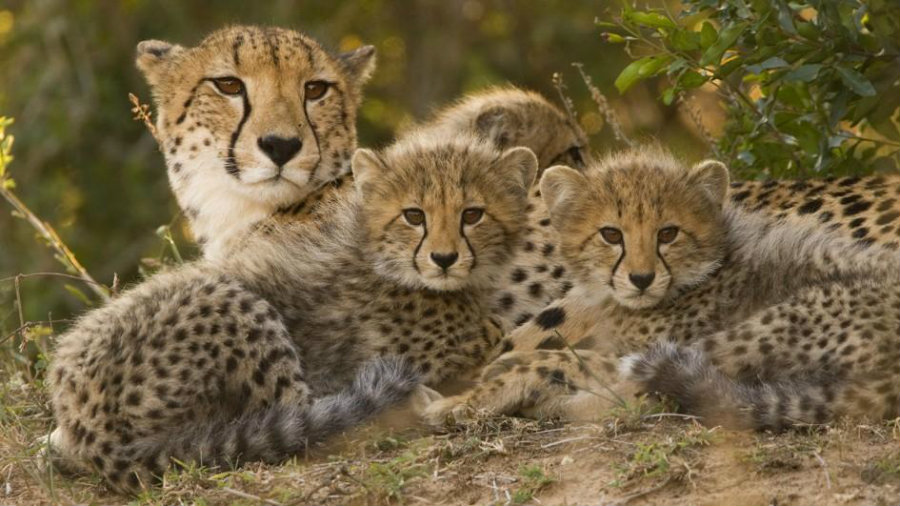 Why Are Cheetahs Endangered?