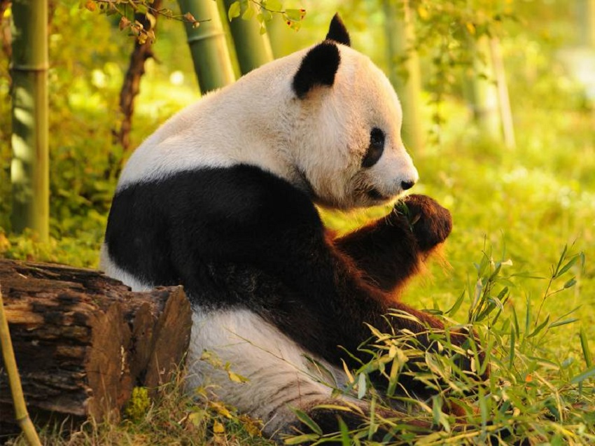Pandas Get To Know Their Wild Side