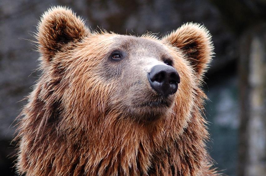 Endangered animals Brown bear