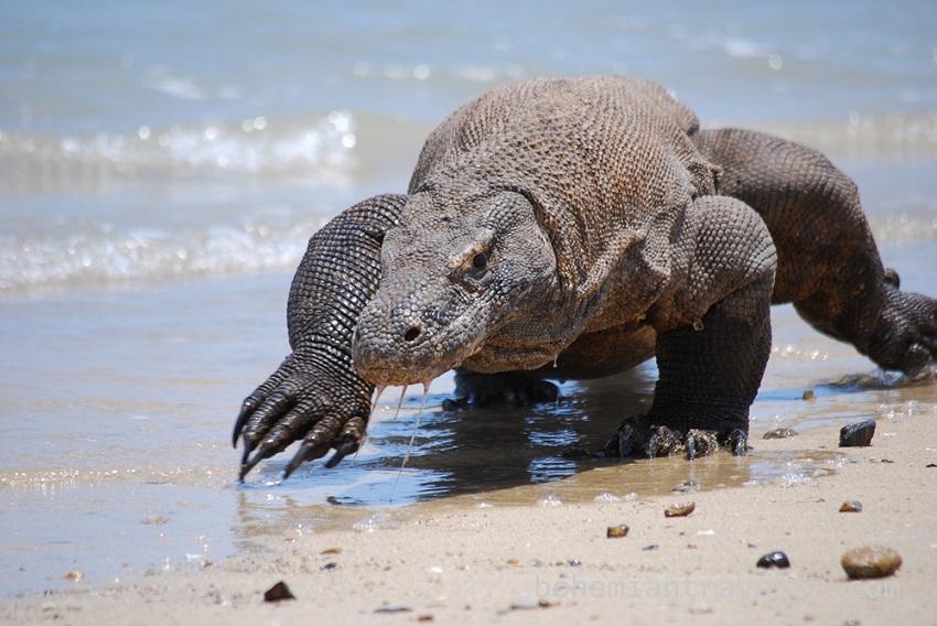 Endangered animals Giant lizard